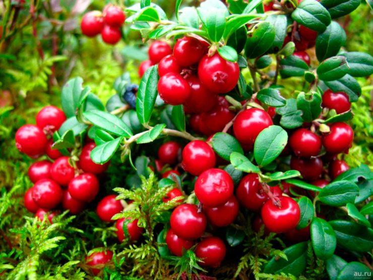 Травы от цистита (мочегонные, противовоспалительные, антибактериальные): рецепты (отвары, настои, ванны), противопоказания, профилактика, отзывы
