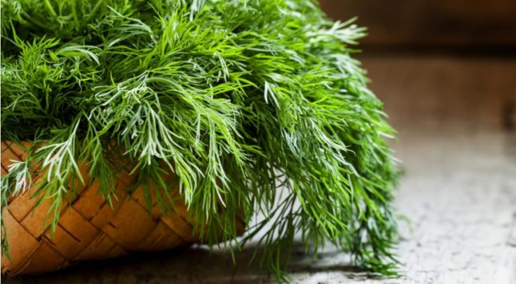 Укроп при цистите: рецепты заварных отваров из семян, отзывы пациентов